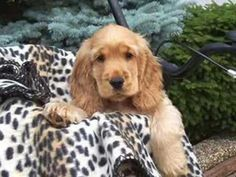 English Cocker Spaniels Cocker Spaniel Puppies, English Cocker Spaniel, Springer Spaniel, Cockapoo, Pet Accessories, Cute Animals, Funny Animals, Animal Pictures, Best Dogs