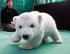 baby polar bear. Cute, Polar Bear, Animals, Animales, Animaux, Kawaii, Animal, Dieren, Animais