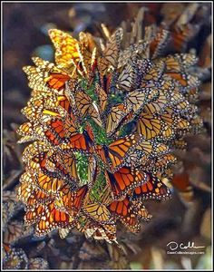 Monarch butterflies on tree trunk-every November in Michoacan, Mexico.