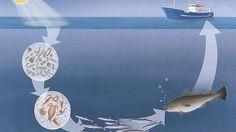 plankton i havet - Google-søk