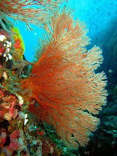Gorgonian sea fan by Perry Aragon on Flickr
