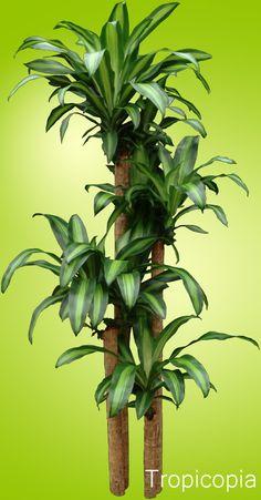 Dracaena Corn Plant - How to Grow Care - Massangeana
