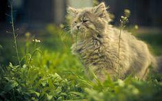 fluffy cat, cute animals, cats, green grass