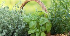 12 Plantas para repeler Moscas ~ La Huerta de Ivan