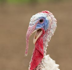 Turkey cock stock photo