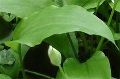 Kräuter-Steckbrief Bärlauch (Allium ursinum) - Eigenschaften und Verwendung