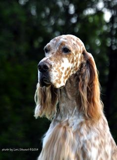 English Setter ~ Classic Look and a beautiful Head, this is a WONDERFUL picture