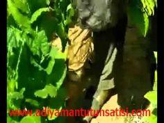 Adıyaman Tütünü, adıyaman Tütün ekimi, adıyaman tütünü hasat toplanması