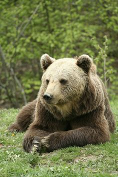 The Romanian Carpathians shelter Europe's largest bear population, 9,000 brown bears, compare with a dozen in the Pyrenees and even fewer in the Alps. So if you are a wildlife observer we invite you to admire the Carpathian bears of Romania.romaniasfriends.com