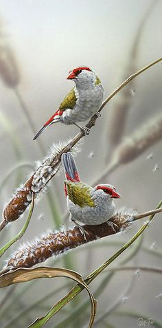 Red-browed Fire-tail Finches (by Christopher Pope)
