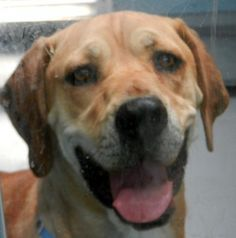 SHAGGY-ID#A678784    My name is SHAGGY.    I am a neutered male, tan and white Labrador Retriever mix.    The shelter staff think I am about 2 years old.    I have been at the shelter since Oct 17, 2012.