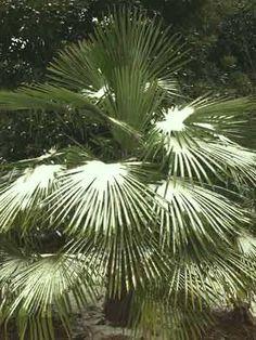 Musa,buy Sikkim Banana for sale,Musa sikkimensis,New Plant-Plant Delights Nursery, Inc.