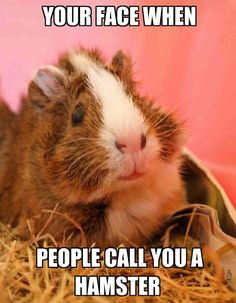 #guineapigproblems I get very angry when people call Guinea Pigs hamsters. * * PEOPLE SHOULD LEARN ABOUT ANIMALS BUT THEY'RE TOO BUSY SPENDING MONEY THEY DON'T HAVE. LOL
