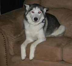 FOSTER ME! Sweetpea is an adoptable Husky Dog in Saukville, WI. We will not arrive to WI until March 10th, 2012.� We can only get out of the shelter if we find a foster, adopter or sponsor.� PLEASE he...