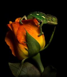 roses to roses, dust to..chameleon