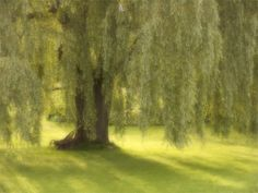 The Legend of the Weeping Willow Tree
