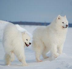 Snowbound Samoyeds