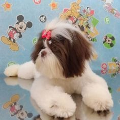 """Explore our internet site for even more relevant information on """"shih tzu puppies"""". It is an outstanding area for more information. Shih Tzu Puppy, Shih Tzus, Pet Shop, Love Dogs, Teddy Bear, Puppies, Internet, Explore, Animales"""