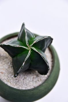 Astrophytum myriostigma v. nudum f.