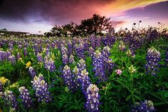 Blue by Chris Multop    From the 2012 Texas wildflower season