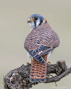 American Kestrel, Birds Of Prey, Nature Pictures, Rottweiler, Beautiful Birds, Animal Kingdom, Owls, Lovers, Graphic Design