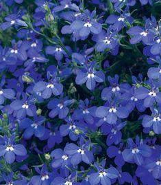 "Lobelia 'Lucia Dark Blue' - A true blue companion for your containers. Keep soil moist. Height 6-8""."