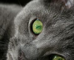 What a beautiful green eyed grey cat.....