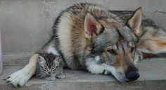 Czechoslovakian Wolfdog with his (second) best friend