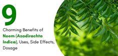 9 Charming Benefits of Neem (Azadirachta Indica), Uses, Side Effects, Dosage - AllDayHealthy Malaria Symptoms, Bacterial Diseases, Natural Insecticide, Miracle Tree, Azadirachta Indica, Juicing For Health, Cardiovascular Disease