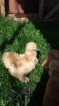 Silkie Chickens - BackYard Chickens Community