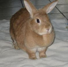 Buttercup is an adoptable American Rabbit in Gainesville, FL. Buttercup is a beautiful female bunny. Her name matches her colors perfectly. She loves to eat her hay, pellets and veggies. Buttercup wou...