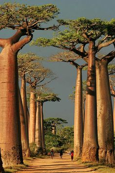 ADANSONIA GRANDIDIERI (BAOBAB) It is an endangered species of the genus Adansonia. It is considered the largest and most famous baobab species among the six endemic species of Madagascar. They are trees up to 25-30 m in height.