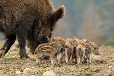 Brazilian Tapirs!! Too cute.