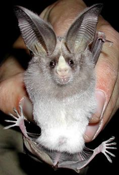 ,the adorable California leaf nosed bat, the only bat in North America with…