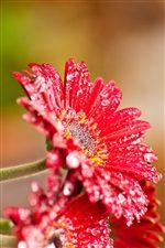 赤いガーベラの花の後に雨 iPhoneの壁紙