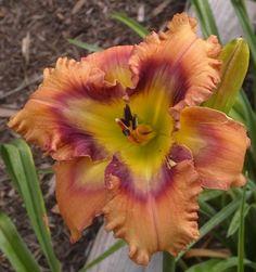 Westbourne Scarey Face #flowers