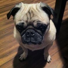 sad face #pug #furbaby
