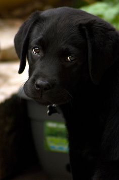 Black Lab-rador Retriever