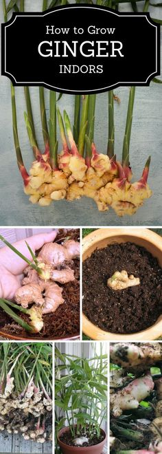 """How To"" - from Ginger Photo Self-Explanatory Grow Ginger from Cuttings Growing Ginger is SUPER EASY! I put some in a clear 'air tight' container in my counter, and just the other day went to add a new piece I had bought to"