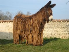 The Poitou donkey - one of the rarest donkey breeds on Earth.