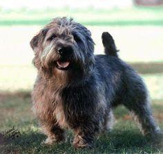 Glen of Imaal Terrier #Dogs #Puppy