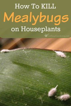 Mealybugs are dreaded houseplant pests and tough opponents, but we can win the battle. There are several ways to kill mealybugs without using pesticides. Plant Pests, Garden Pests, Garden Bugs, Organic Gardening, Gardening Tips, Indoor Gardening, Vegetable Gardening, Indoor Plants, Growing Flowers