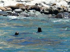 GALLERY | Whale Watching Chile South American sea lions Sea Lions, Whale Watching, Chile, Wildlife, American, Gallery, Animals, Chili Powder, Animaux