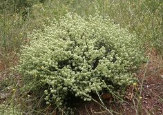 Mastic thyme (Thymus mastichina)