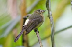 Whiskered Flycatcher (Myiobius barbatus)   The most noticeable features are the bright yellow rump & the pale eyering. The mastacalis subspecies has a tawny wash on its breast. Note also the large eyes & the conspicuous rictal bristles which give the bird its English name.