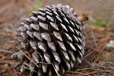 Un cône à pleine maturité pin de Monterey sur le sol de la forêt Les écailles de pommes de pin fléchir passivement en réponse à des changements dans les niveaux d'humidité par l'intermédiaire d'une structure à deux couches.