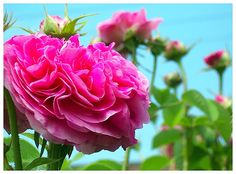 pink roses | Flickr - Photo Sharing!