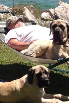 #Mastiff #Dog