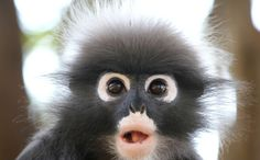 I pray these gorgeous little animals are protected from the idiots that want them as pets. How an Adorable Spectacled Leaf Monkey Sighting Was Shared With the World