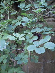 Plant photo of: Akebia quinata